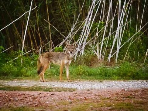 Coyotes Are Roaming WIld in New Orleans City Park